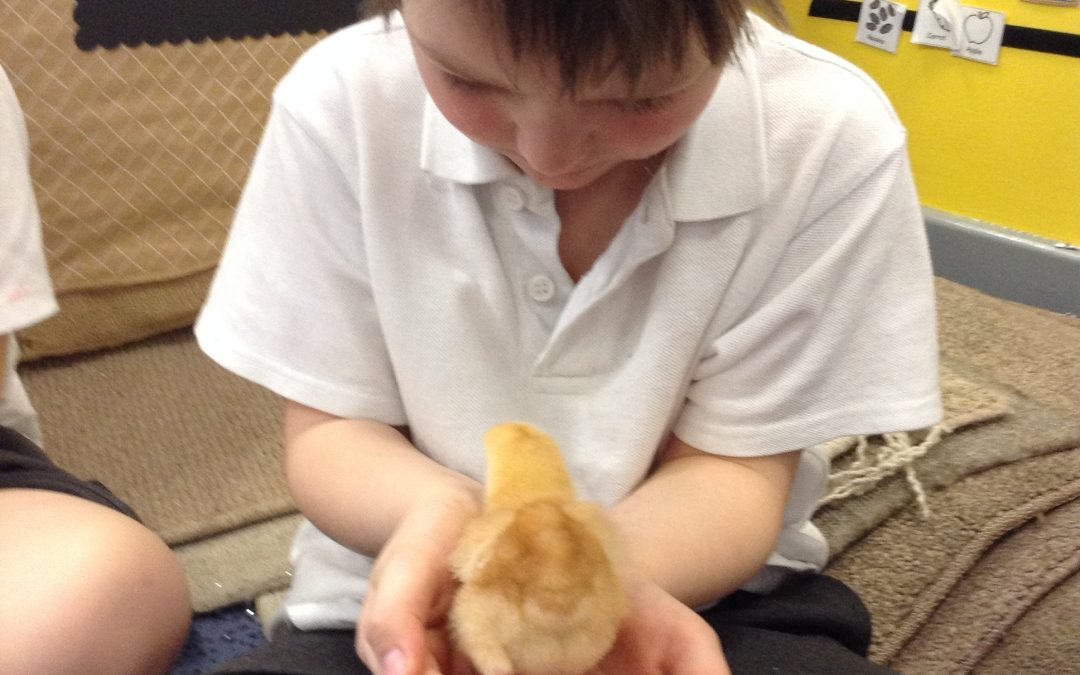 RF were so egg-cited to meet the chicks today! We learned about the life cycle of a chicken, and how to handle them safely.